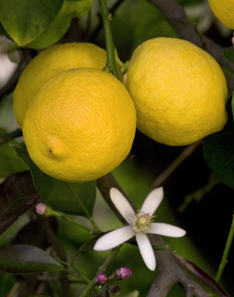limone siracusano