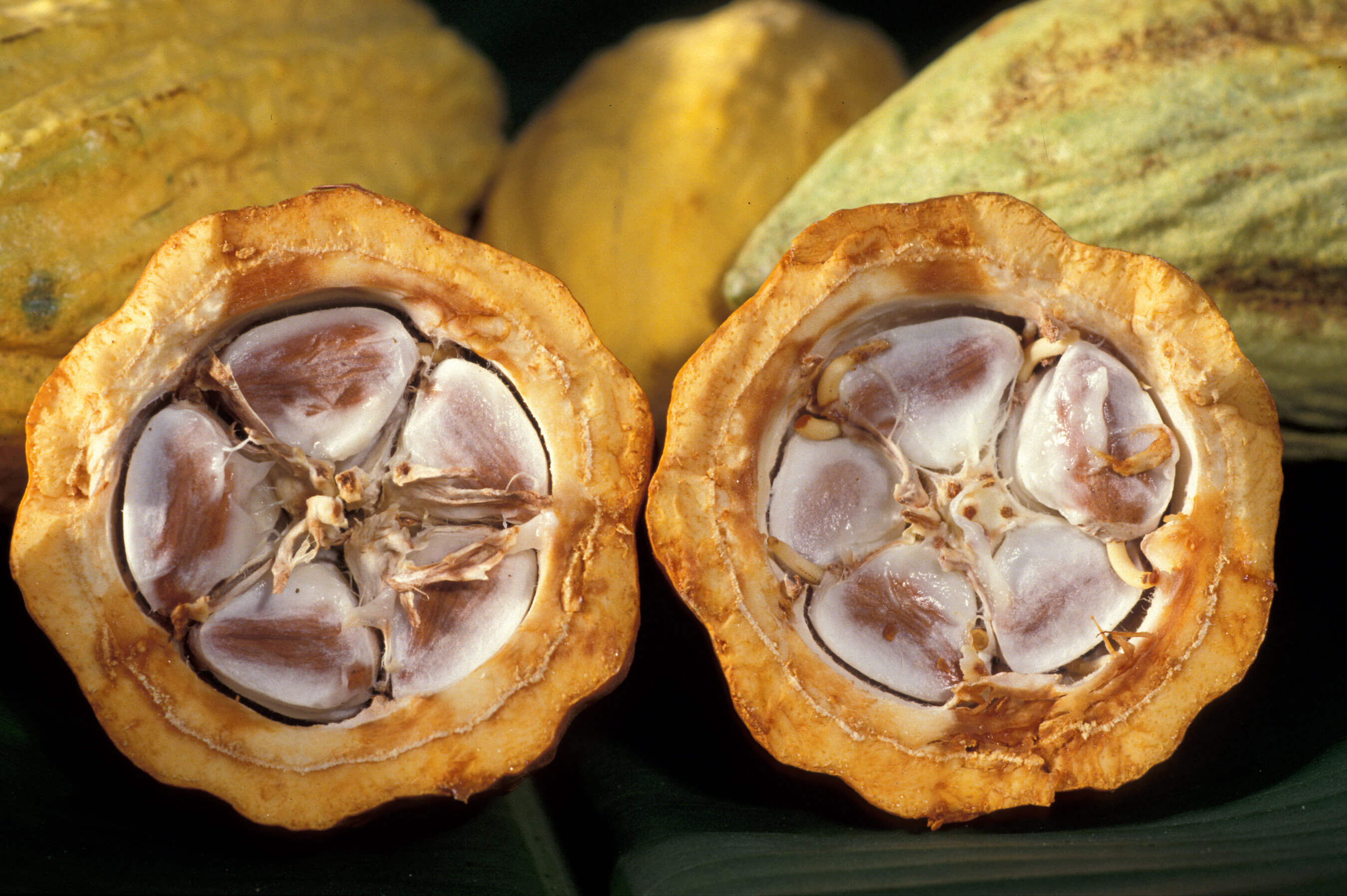cabosse cacao