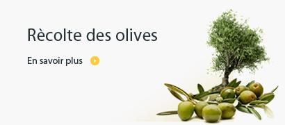 Rècolte des olives