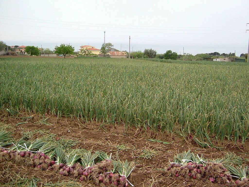 piantagione cipolle