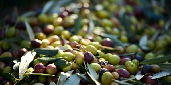 WHEN HARVEST OLIVES