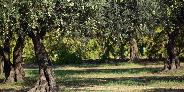 RESEARCH AGAINST XYLELLA